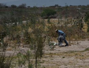 Continúa plantación de arbolado en relleno sanitario de Irapuato